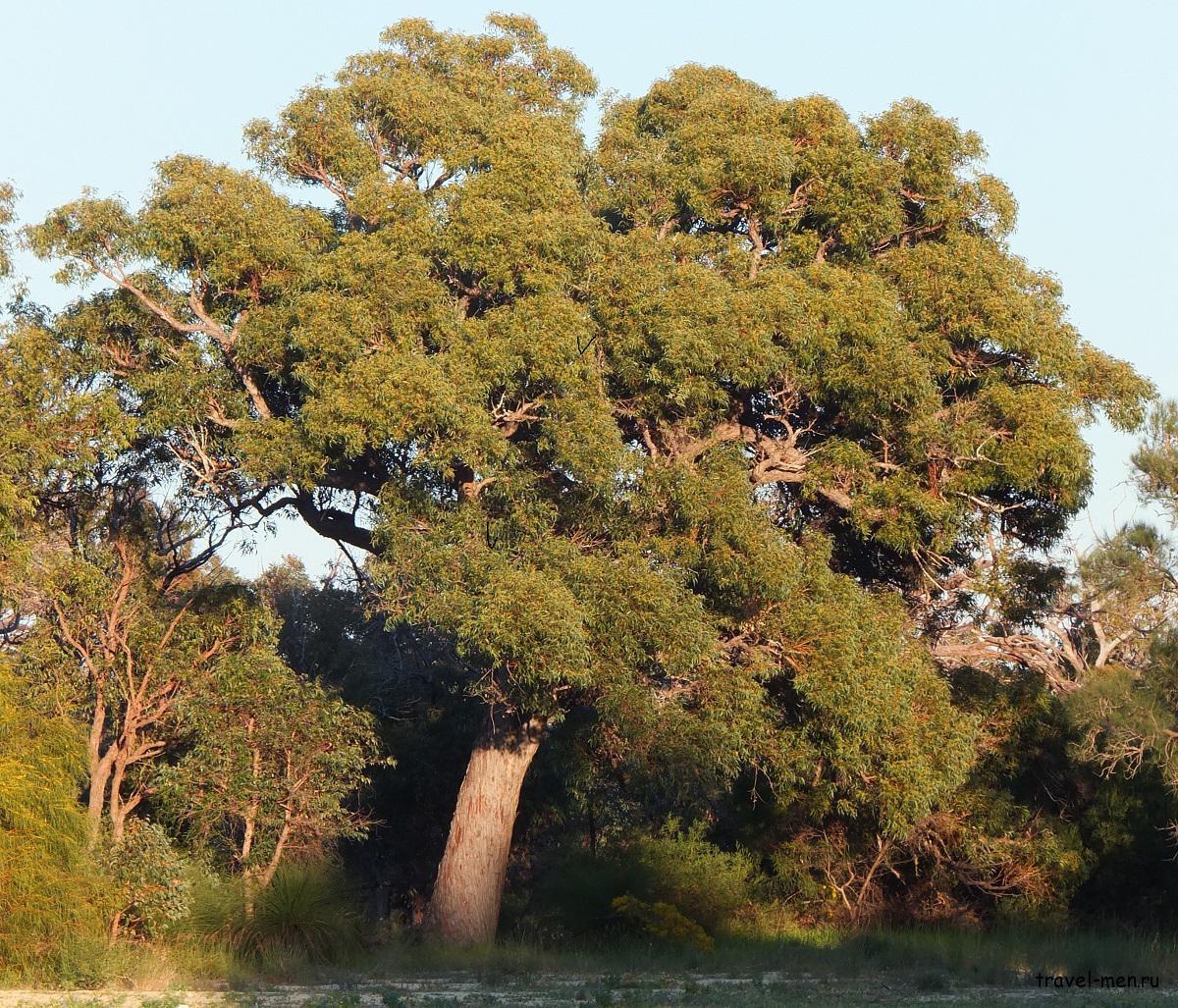 Флора Австралийского континента