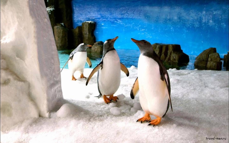 Пингвины в Австралии