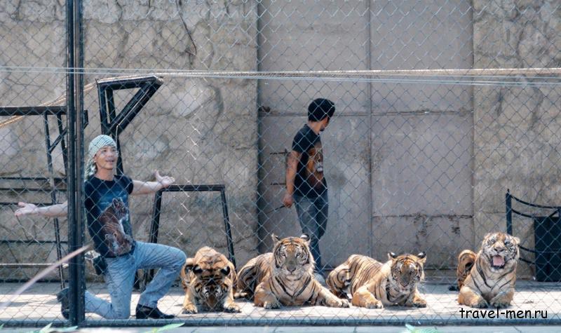 Что посмотреть на Самуи? Шоу тигров